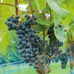 新潟県産ワインにこだわる個性豊かなワイナリーまとめ