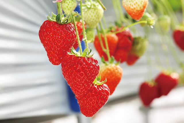 苺の花ことば